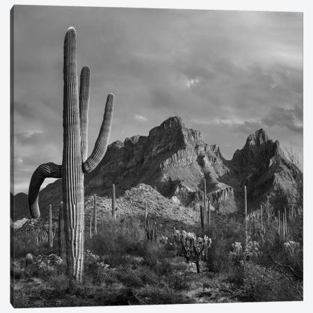 Saguaro cacti, Ajo Mountains, Organ Pipe Cactus National Monument, Arizona Canvas Print #TFI1747} by Tim Fitzharris Canvas Print
