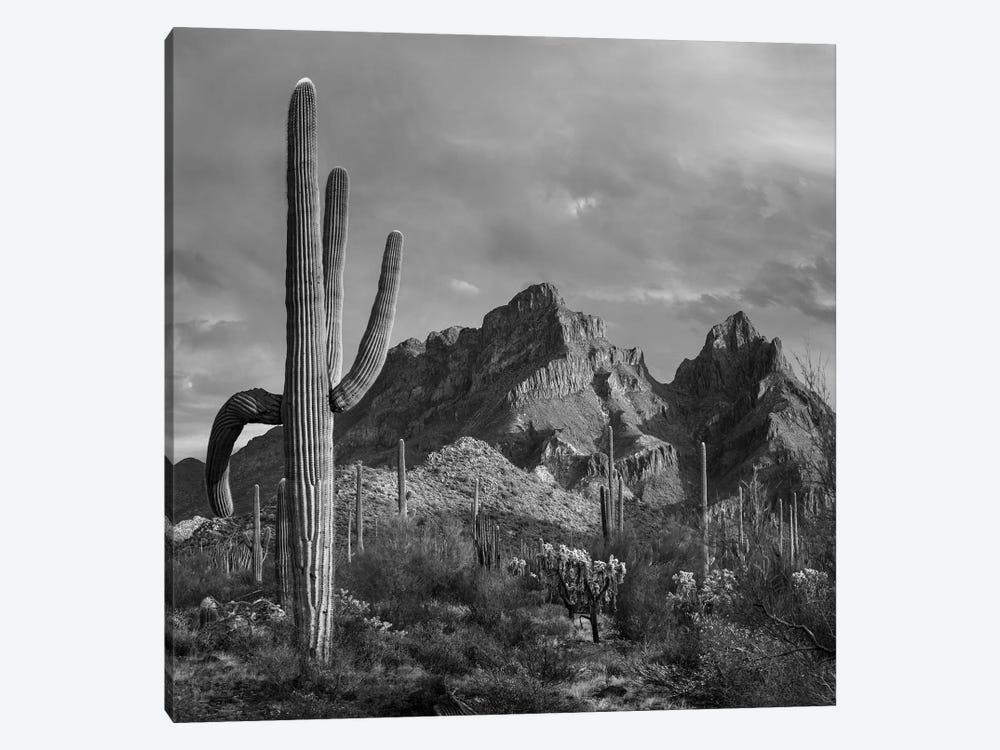 Saguaro cacti, Ajo Mountains, Organ Pipe Cactus National Monument, Arizona by Tim Fitzharris 1-piece Canvas Art Print