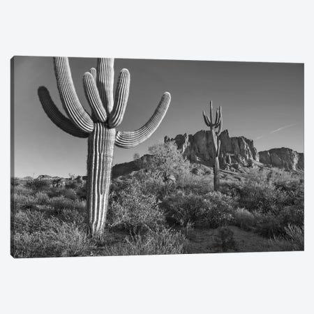 Saguaro cacti, Arizona Canvas Print #TFI1748} by Tim Fitzharris Canvas Art