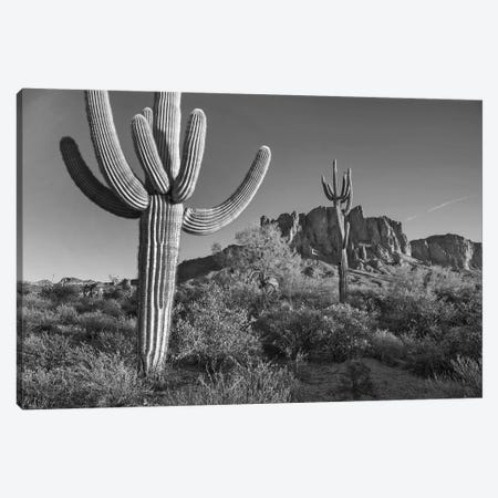 Saguaro cacti, Arizona Canvas Print #TFI1748} by Tim Fitzharris Canvas Art