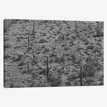 Saguaro cacti, Organ Pipe Cactus National Monument, Arizona Canvas Print #TFI1749} by Tim Fitzharris Canvas Art
