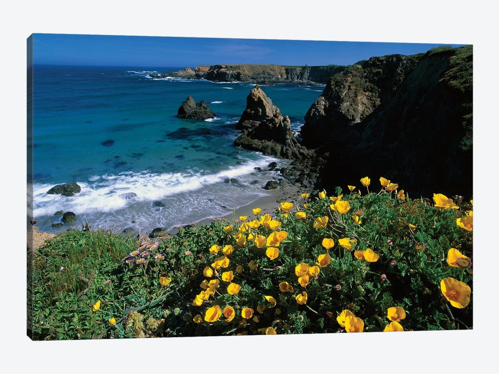 California Poppy Cluster Growing On Coastal Cliff, Jughandle State Reserve, Mendocino County, California by Tim Fitzharris 1-piece Canvas Art