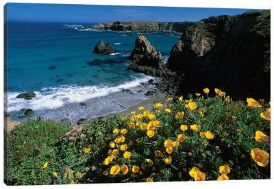 California Poppy Cluster Growing On Coastal Cliff, Jughandle State Reserve, Mendocino County, California Canvas Art Print