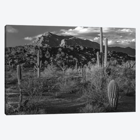 Saguaro cacti, Picacho Mountains, Picacho Peak State Park, Arizona Canvas Print #TFI1750} by Tim Fitzharris Canvas Art Print