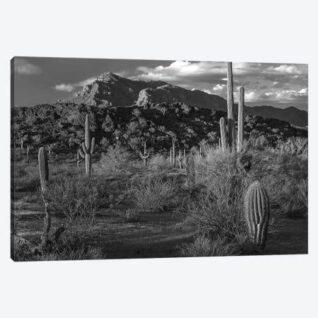 Saguaro cacti, Picacho Mountains, Picacho Peak State Park, Arizona Canvas Print #TFI1750} by Tim Fitzharris Canvas Art Print