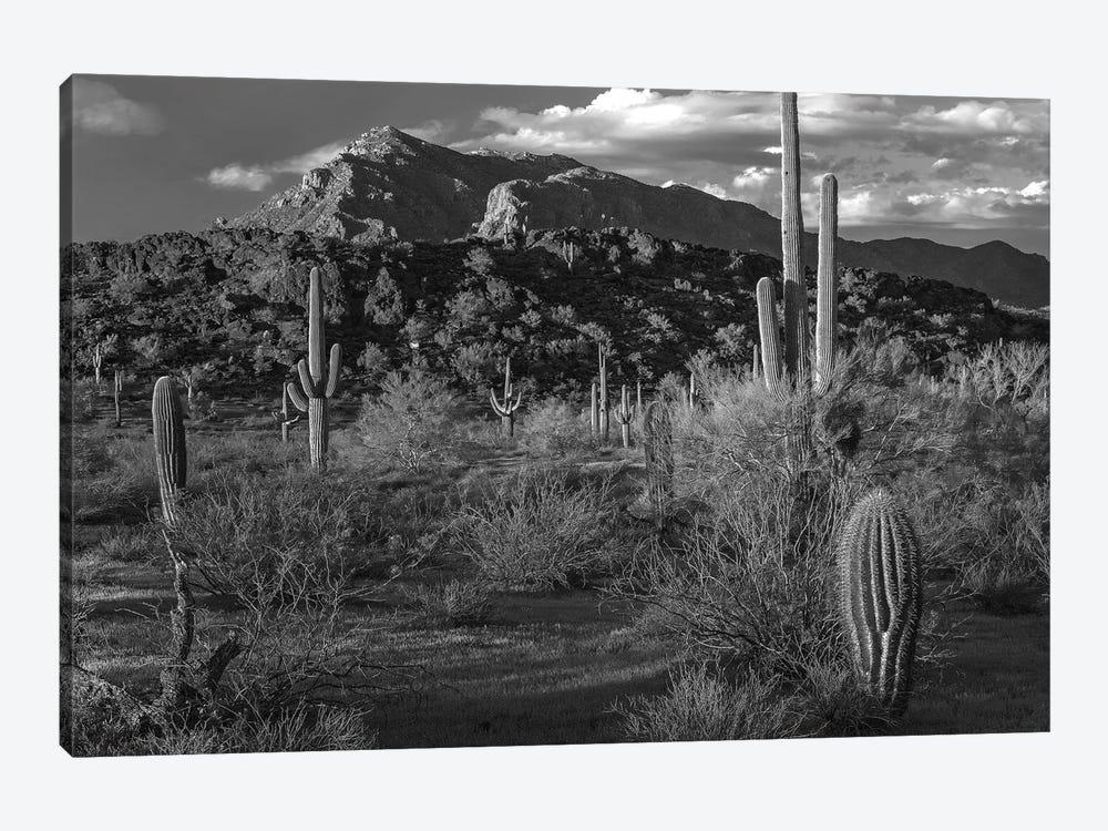 Saguaro cacti, Picacho Mountains, Picacho Peak State Park, Arizona by Tim Fitzharris 1-piece Canvas Print