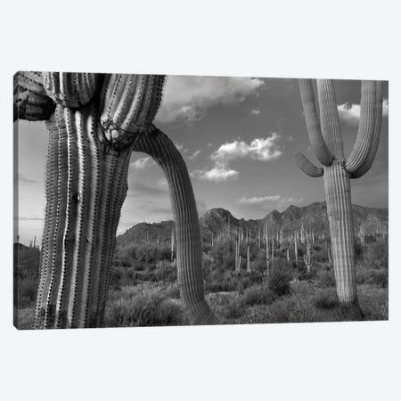 Saguaro cacti, Tucson Mountains, Arizona Canvas Print #TFI1752} by Tim Fitzharris Canvas Art Print