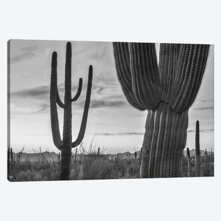 Saguaro cacti, Tucson Mountains, Arizona Canvas Print #TFI1754} by Tim Fitzharris Canvas Artwork