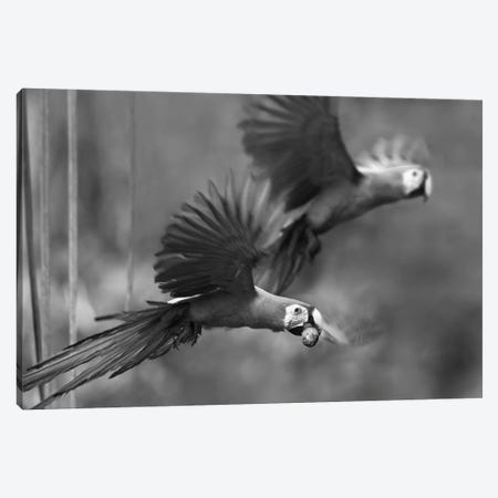 Scarlet Macaw pair flying with palm fruit, Costa Rica Canvas Print #TFI1766} by Tim Fitzharris Art Print