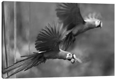 Scarlet Macaw pair flying with palm fruit, Costa Rica Canvas Art Print