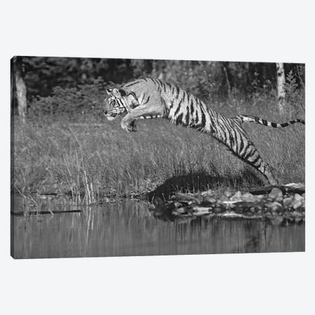 Siberian Tiger leaping across river, Asia Canvas Print #TFI1769} by Tim Fitzharris Canvas Art