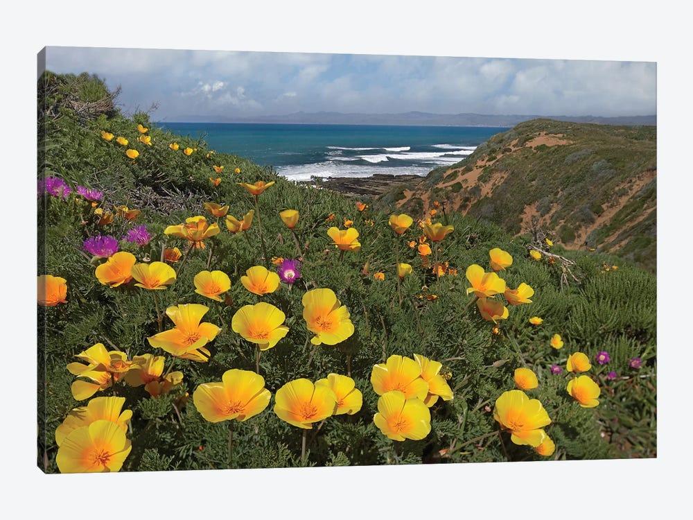 California Poppy Field, Montano De Oro State Park, California by Tim Fitzharris 1-piece Canvas Art