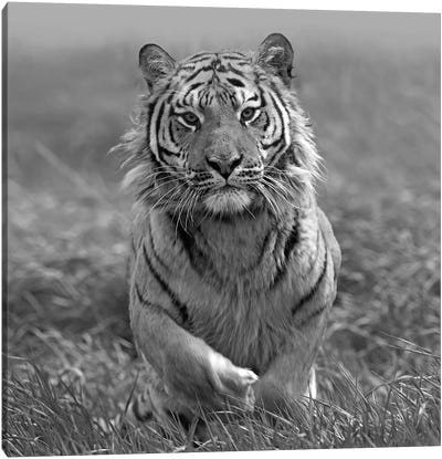 Siberian Tiger running, native to Russia Canvas Art Print