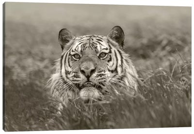 Siberian Tiger snarling, native to Russia Canvas Art Print