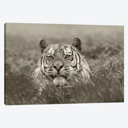 Siberian Tiger snarling, native to Russia Canvas Print #TFI1771} by Tim Fitzharris Art Print