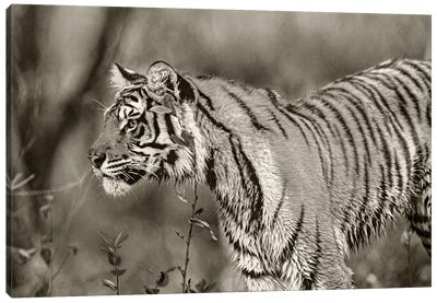 Siberian Tiger sub-adult, native to Russia Canvas Art Print
