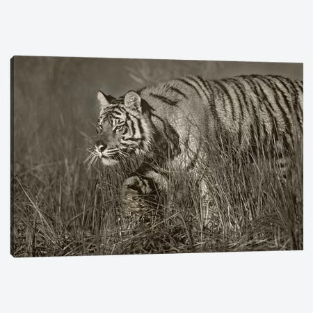 Siberian Tiger walking through tall grass along water's edge 3-Piece Canvas #TFI1773} by Tim Fitzharris Canvas Print