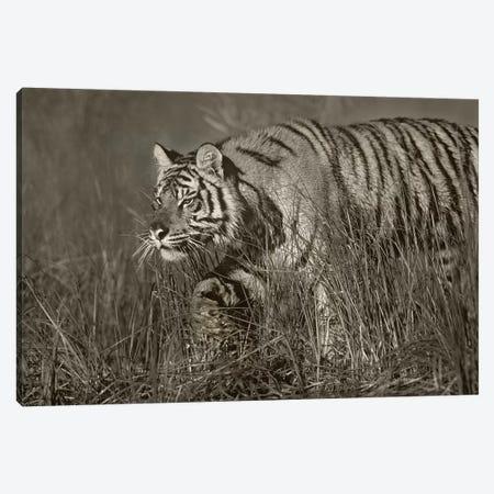 Siberian Tiger walking through tall grass along water's edge Canvas Print #TFI1773} by Tim Fitzharris Canvas Print