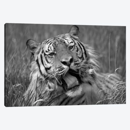 Siberian Tiger yawning, endangered, native to Siberia Canvas Print #TFI1774} by Tim Fitzharris Canvas Art