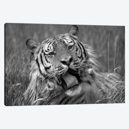 Siberian Tiger yawning, endangered, native to Siberia Canvas Print #TFI1774} by Tim Fitzharris Canvas Art