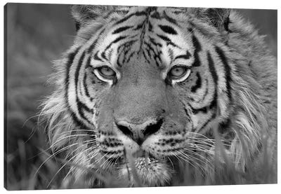 Siberian Tiger, native to Russia Canvas Art Print