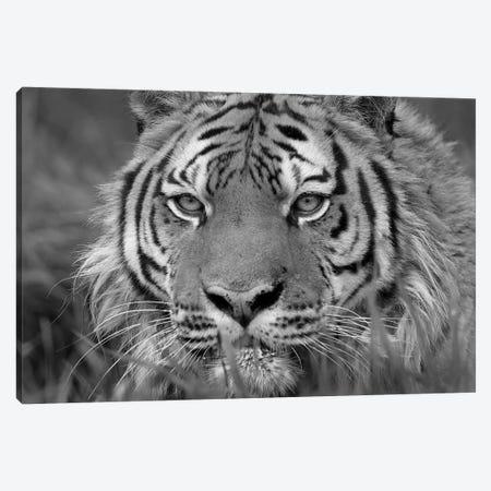 Siberian Tiger, native to Russia Canvas Print #TFI1775} by Tim Fitzharris Canvas Art