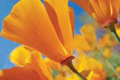 California poppy flowers antelope valley ca tim fitzharris california poppy flowers antelope valley ca tim fitzharris icanvas mightylinksfo