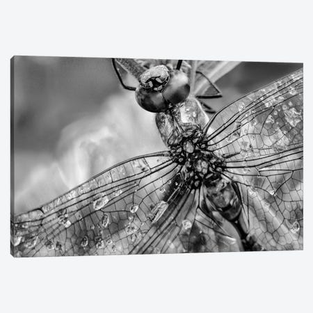 Southern Hawker Dragonfly close up, moisture on wings, New Mexico Canvas Print #TFI1785} by Tim Fitzharris Canvas Print