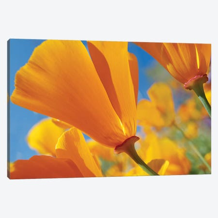 California Poppy Flowers, Antelope Valley, California I Canvas Print #TFI178} by Tim Fitzharris Canvas Art