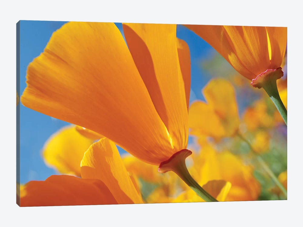 California Poppy Flowers, Antelope Valley, California I by Tim Fitzharris 1-piece Canvas Art