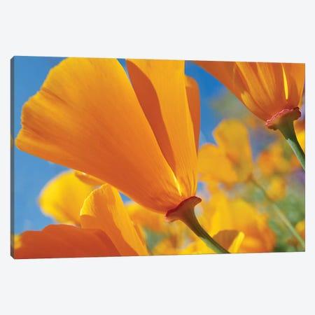 California Poppy Flowers, Antelope Valley, California I Canvas Print #TFI178} by Tim Fitzharris Canvas Art
