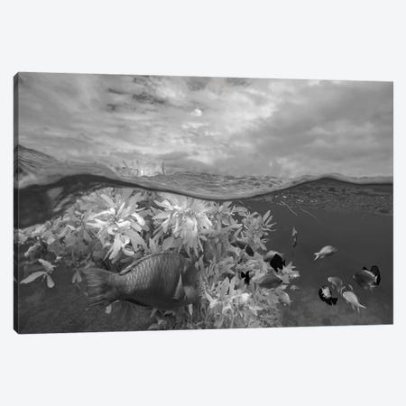 Surf Parrotfish, Damselfish and Basslet school near floating seaweed, Bohol Island, Philippines Canvas Print #TFI1797} by Tim Fitzharris Canvas Art