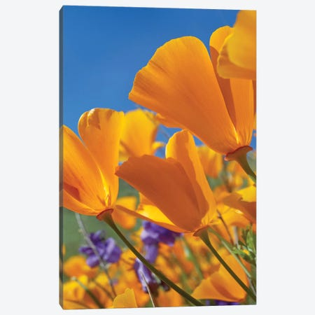 California Poppy Flowers, Antelope Valley, California II Canvas Print #TFI179} by Tim Fitzharris Canvas Art