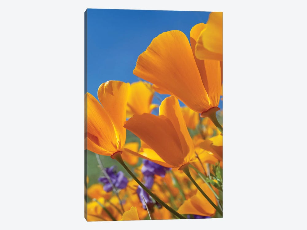 California Poppy Flowers, Antelope Valley, California II by Tim Fitzharris 1-piece Canvas Art Print