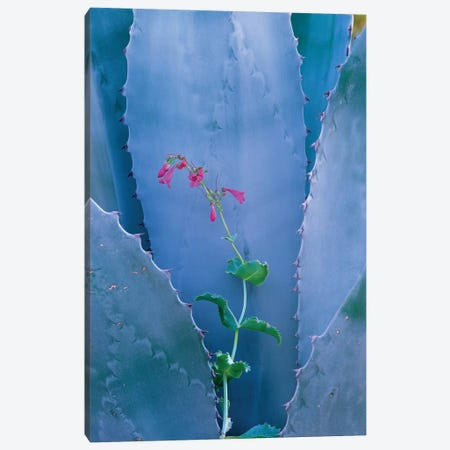 Agave And Parry's Penstemon Close Up, North America I Canvas Print #TFI17} by Tim Fitzharris Canvas Artwork