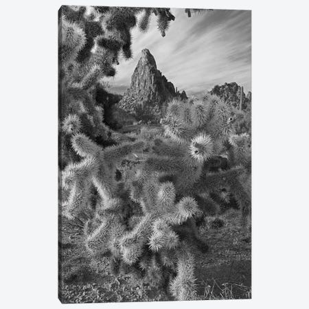 Teddy Bear Cholla cacti (Cylindropuntia bigelovii), Crater Range, Arizona Canvas Print #TFI1803} by Tim Fitzharris Canvas Print