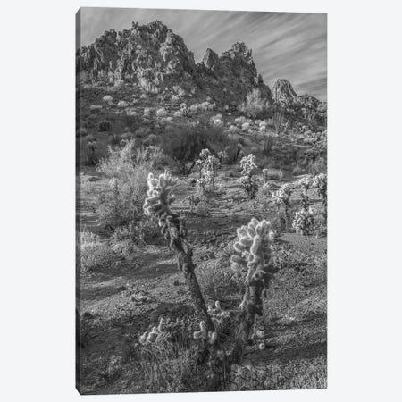 Teddy Bear Cholla cacti and the Crater Range, Arizona Canvas Print #TFI1804} by Tim Fitzharris Canvas Artwork