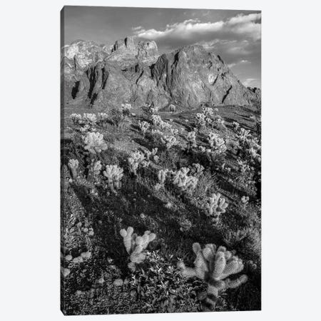 Teddy Bear Cholla cacti in desert, Kofa Mountain, Kofa National Wildlife Refuge, Arizona Canvas Print #TFI1805} by Tim Fitzharris Canvas Wall Art