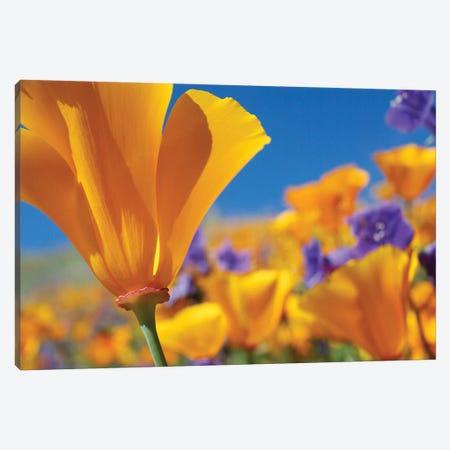 California Poppy Flowers, Antelope Valley, California III Canvas Print #TFI180} by Tim Fitzharris Art Print