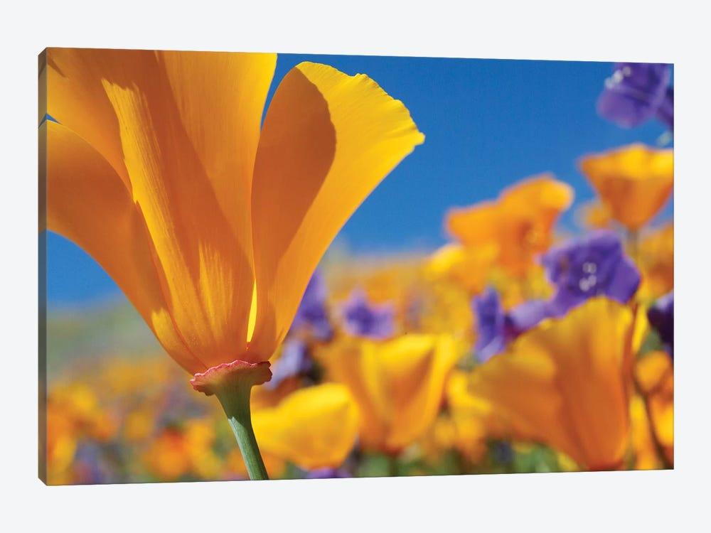 California Poppy Flowers, Antelope Valley, California III by Tim Fitzharris 1-piece Canvas Print