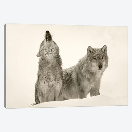 Timber Wolf pair howling in snow, North America Canvas Print #TFI1811} by Tim Fitzharris Canvas Artwork