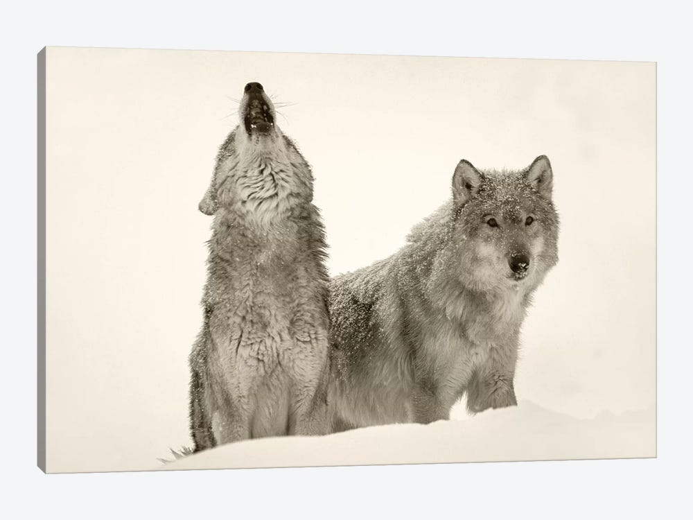 Timber Wolf pair howling in snow, North America by Tim Fitzharris 1-piece Canvas Art