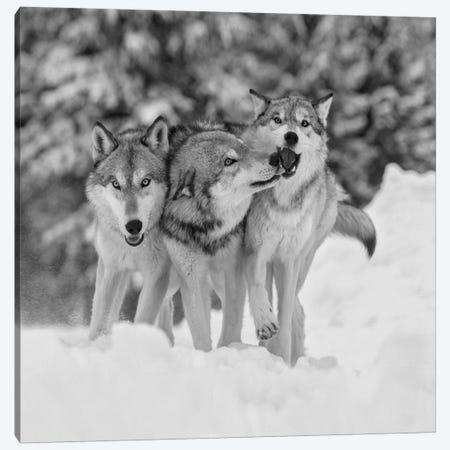 Timber Wolf trio playing in snow, Montana Canvas Print #TFI1814} by Tim Fitzharris Canvas Art Print