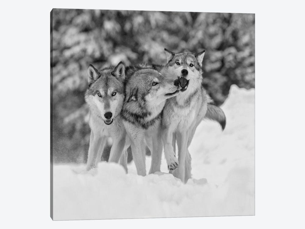 Timber Wolf trio playing in snow, Montana by Tim Fitzharris 1-piece Canvas Print
