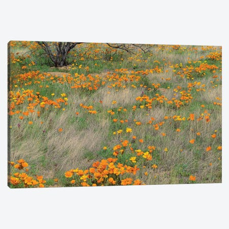 California Poppy Meadow With Grasses, California Canvas Print #TFI181} by Tim Fitzharris Art Print