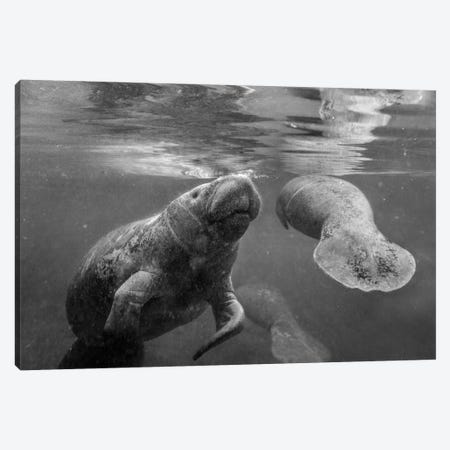 West Indian Manatee mother and calf surfacing, Crystal River, Florida Canvas Print #TFI1826} by Tim Fitzharris Canvas Art