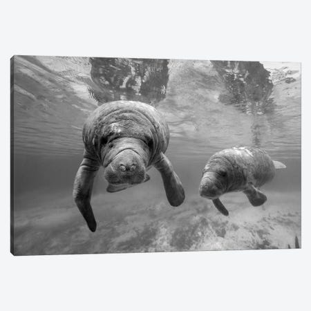 West Indian Manatee mother and calf, Crystal River, Florida Canvas Print #TFI1827} by Tim Fitzharris Canvas Art