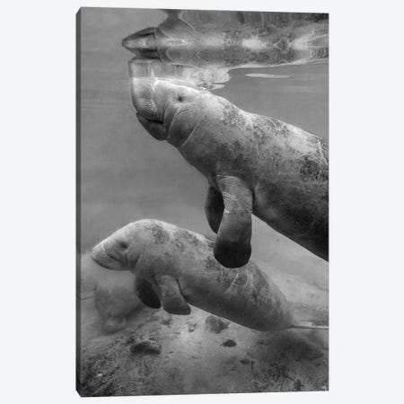 West Indian Manatee mother and calf, Crystal River, Florida Canvas Print #TFI1828} by Tim Fitzharris Canvas Print