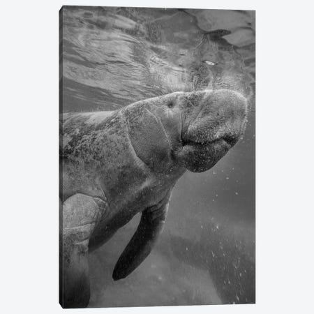 West Indian Manatee surfacing, Crystal River, Florida Canvas Print #TFI1829} by Tim Fitzharris Canvas Art Print