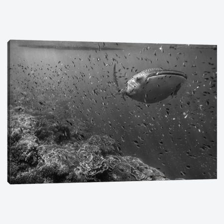Whale Shark and reef fish, Philippines 3-Piece Canvas #TFI1831} by Tim Fitzharris Canvas Wall Art